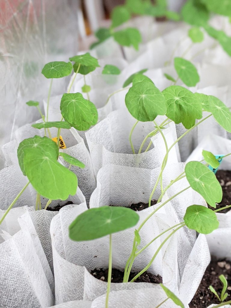 nasturtium seedlings sowing seeds indoors Montreal lifestyle fashion beauty blog