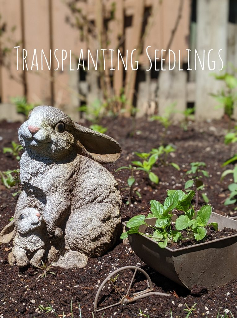 transplanting seedlings backyard border flower garden Montreal lifestyle blog