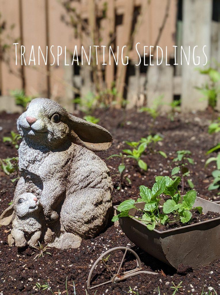 transplanting seedlings backyard border flower garden Montreal lifestyle blog