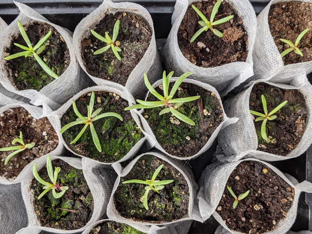 portulaca seedlings DIY border flower garden Montreal lifestyle beauty fashion blog