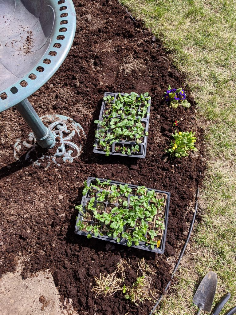 seedling trays transplanting seedlings backyard border garden transformation remodel Montreal lifestyle fashion beauty blog 1