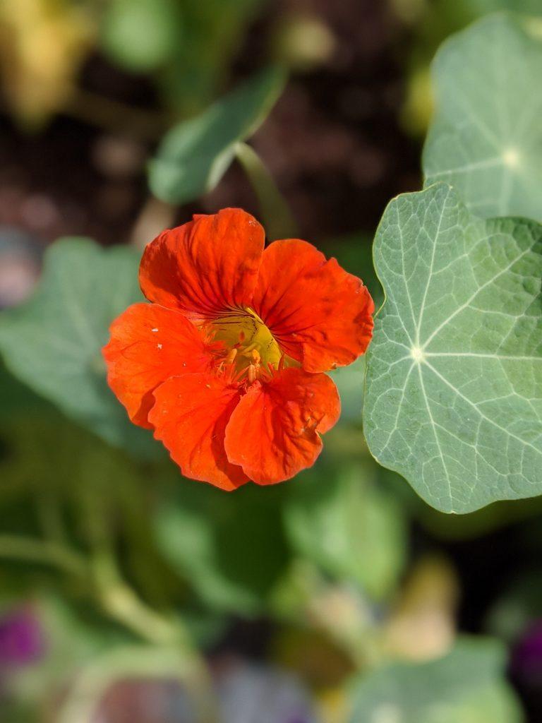 Nasturtium flower garden Montreal lifestyle fashion beauty blog