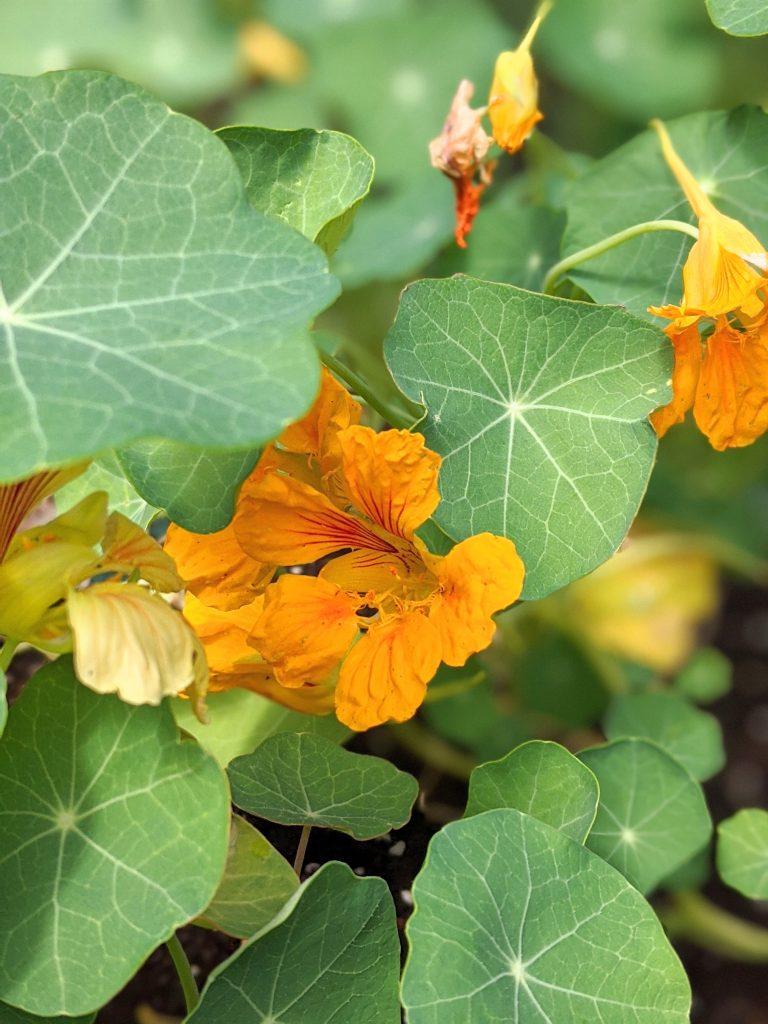 Nasturtiums flower garden Montreal lifestyle fashion beauty blog