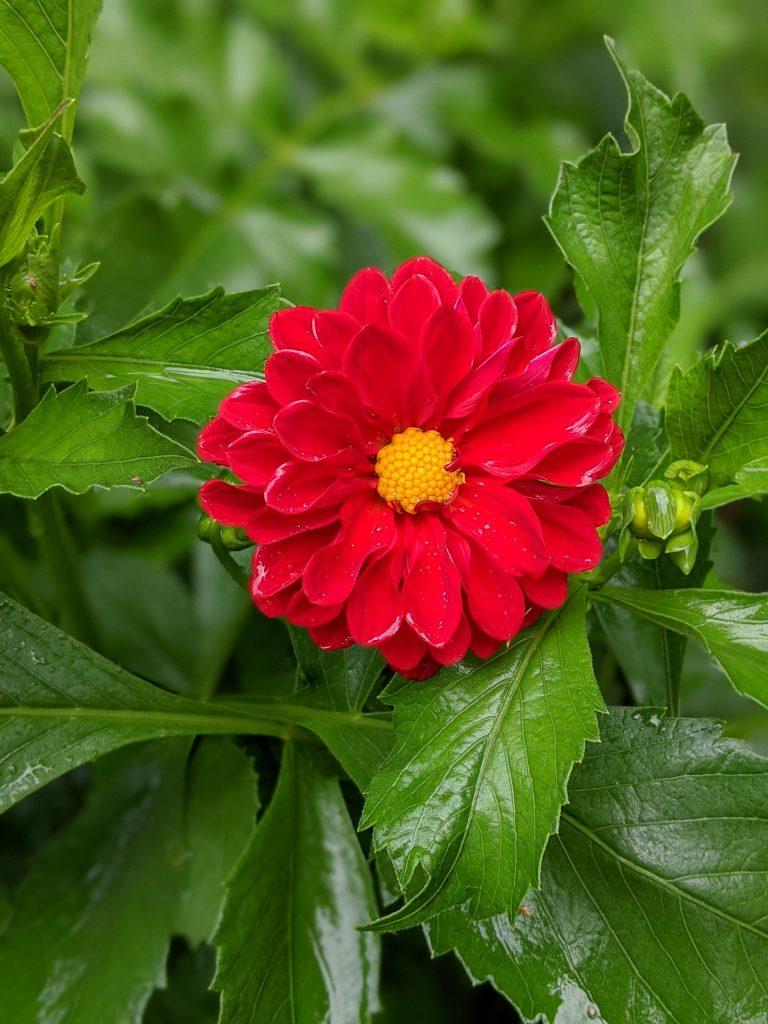 Unwin's Bedding Dahlia flower garden Montreal lifestyle fashion beauty blog 2