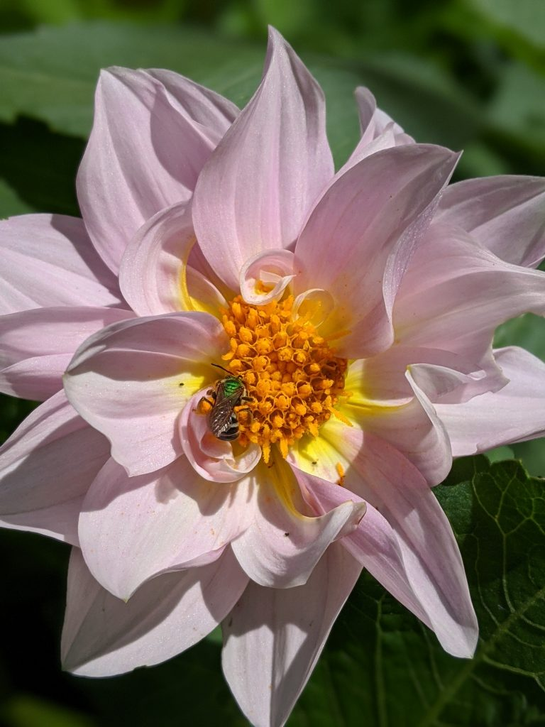 Unwin's Bedding Dahlia green bee flower garden Montreal lifestyle fashion beauty blog