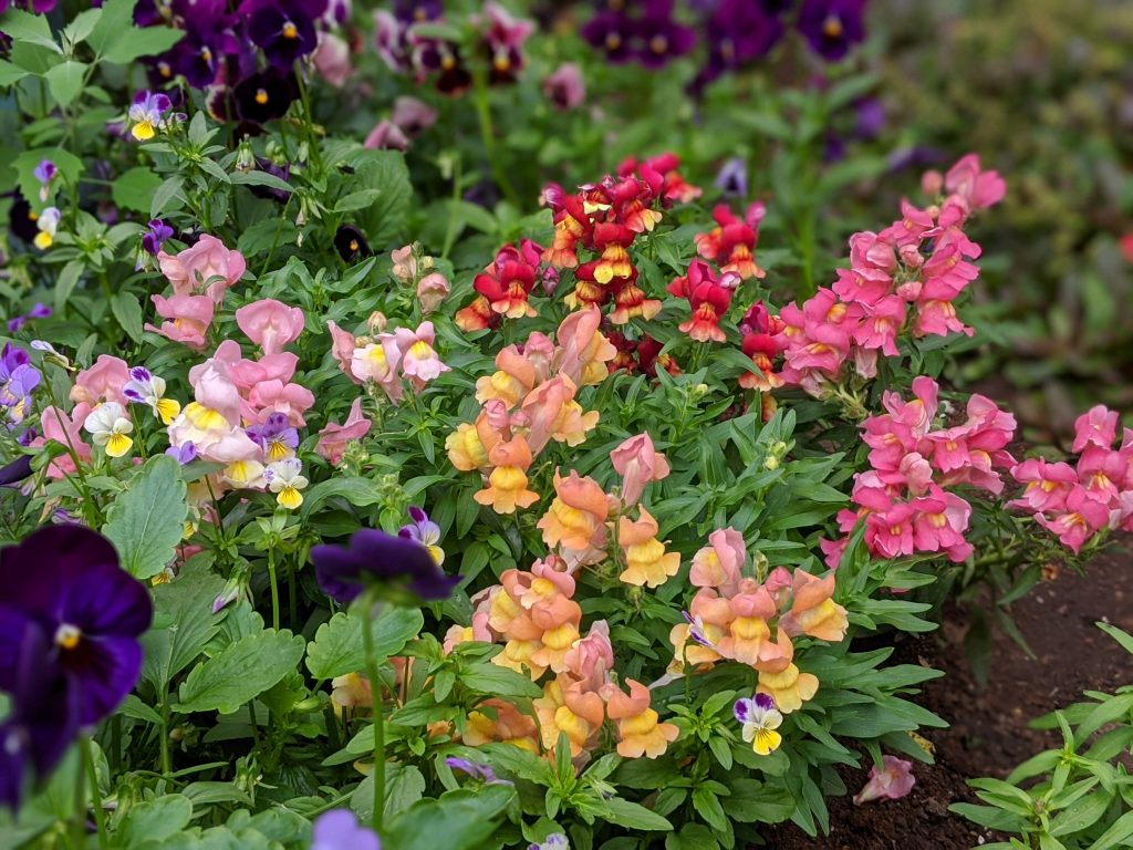 dwarf floral carpet snapdragon flower garden Montreal lifestyle fashion beauty blog