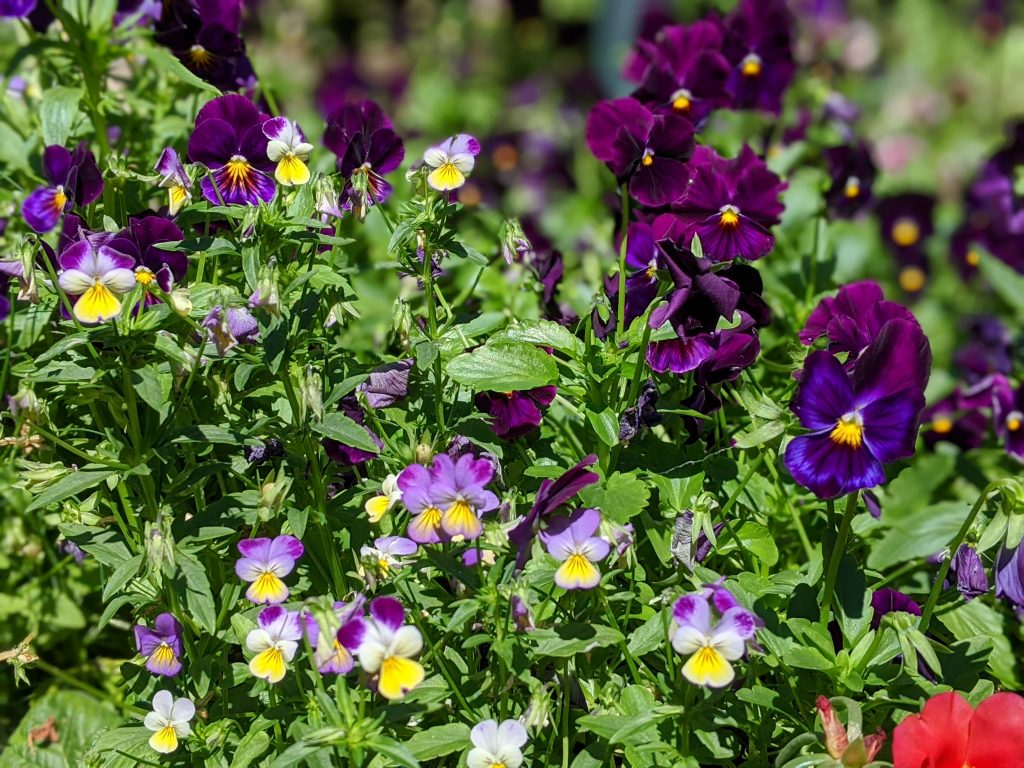 jumping johnny violas swiss giant pansies flower garden Montreal lifestyle fashion beauty blog 1