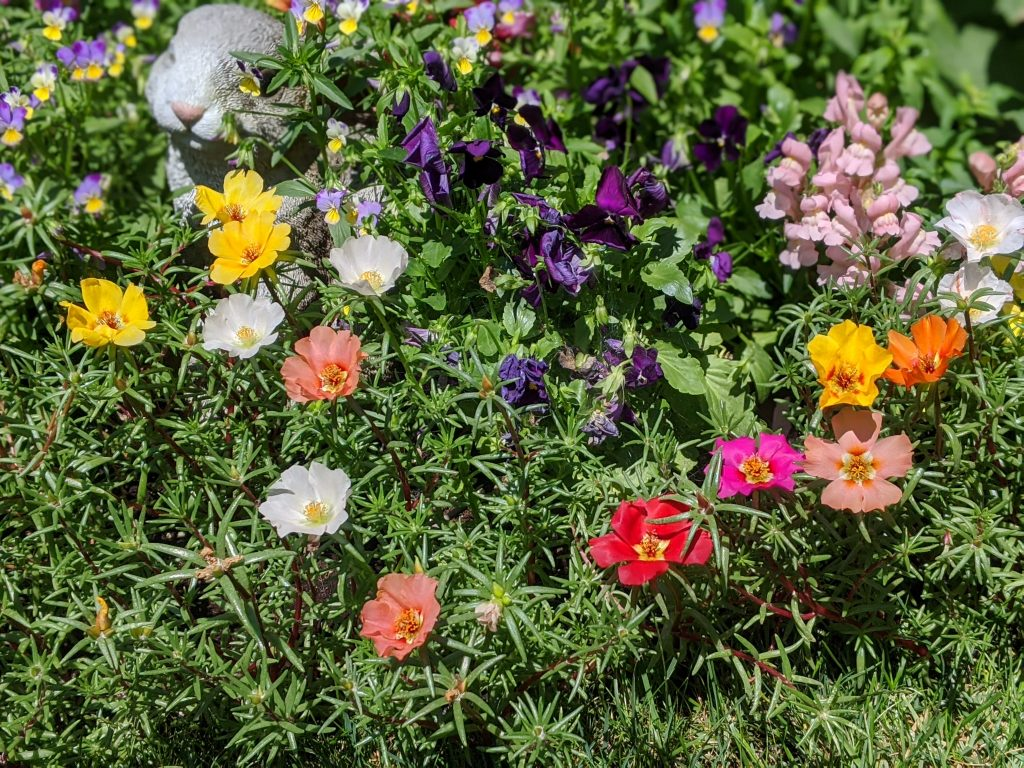 moss rose portulaca flower garden Montreal lifestyle fashion beauty blog 1