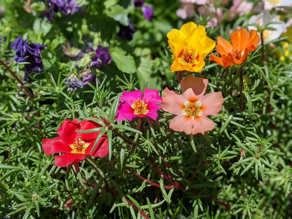 moss rose portulaca flower garden Montreal lifestyle fashion beauty blog 2