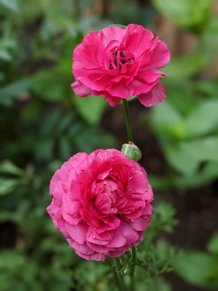pink ranunculus flower garden Montreal lifestyle fashion beauty blog