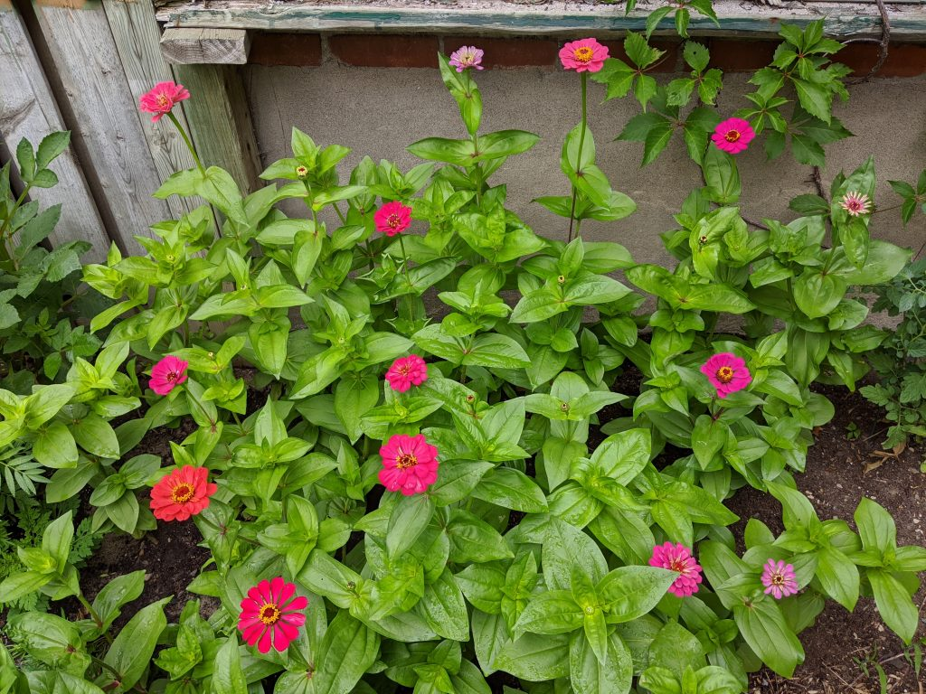 state fair zinnias flower garden Montreal lifestyle fashion beauty blog
