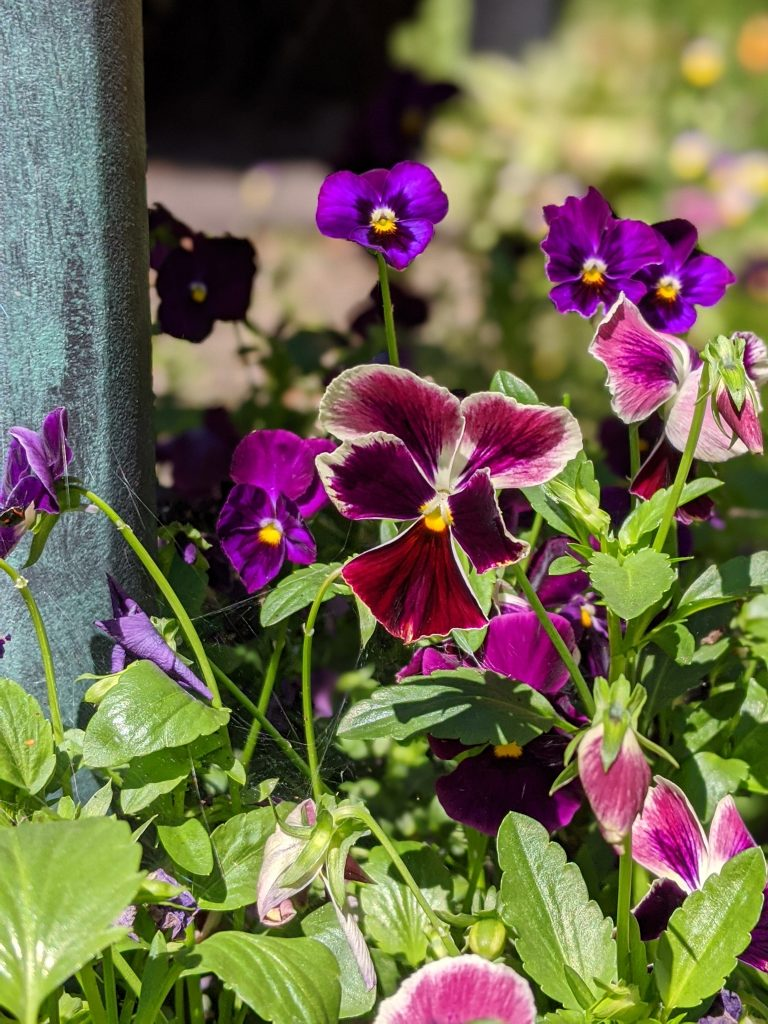 swiss giant pansies flower garden Montreal lifestyle fashion beauty blog