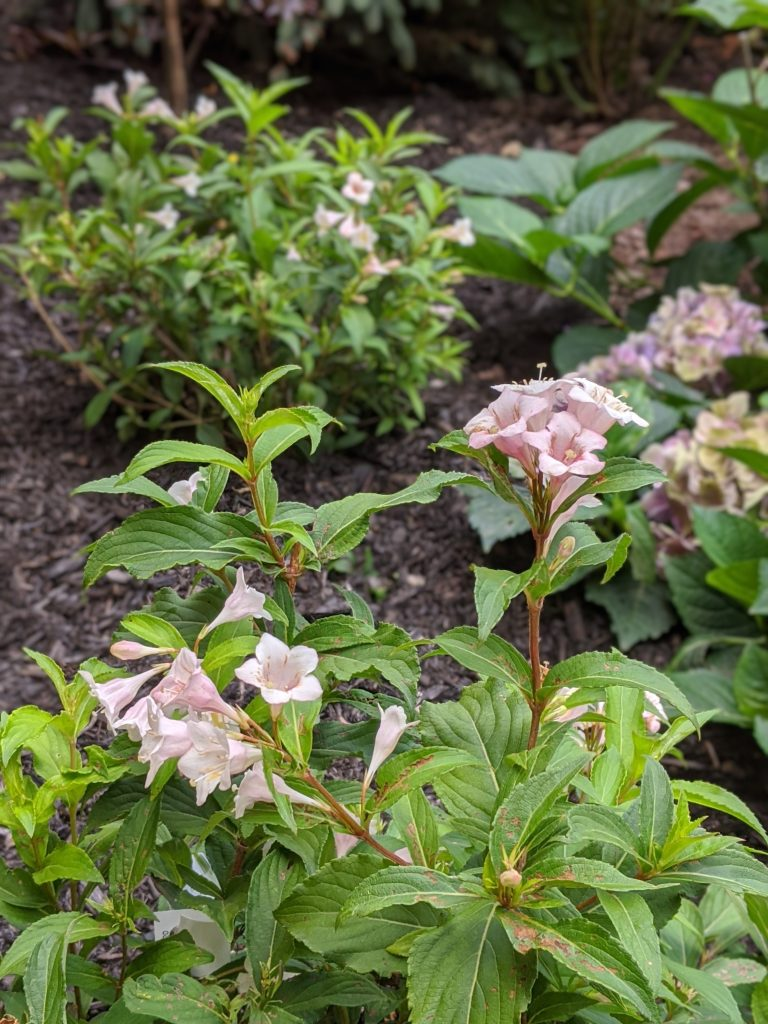 Sonic Bloom Pearl Weigela backyard landscaping garden makeover Montreal lifestyle fashion beauty blog 1
