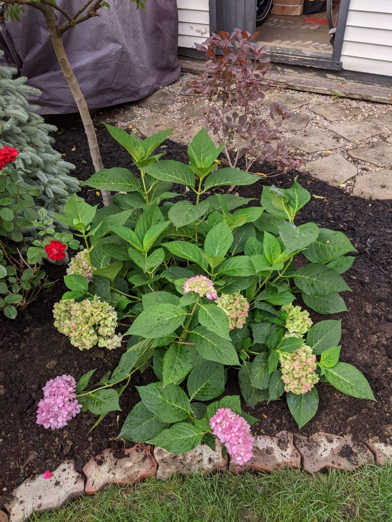 moving Bigleaf Hydrangea backyard landscaping garden makeover Montreal lifestyle fashion beauty blog