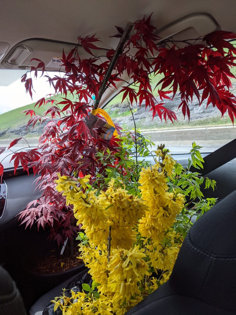 Fireglow Japanese Maple Showoff Starlet Forsythia DIY front yard garden landscaping Montreal lifestyle fashion beauty blog