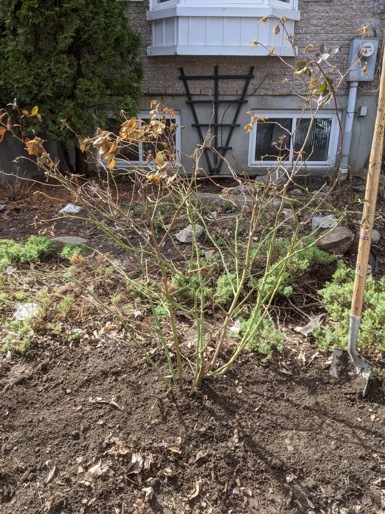 transplanting OSO Easy Double Red rose bush DIY front yard landscaping makeover Montreal lifestyle fashion beauty blog