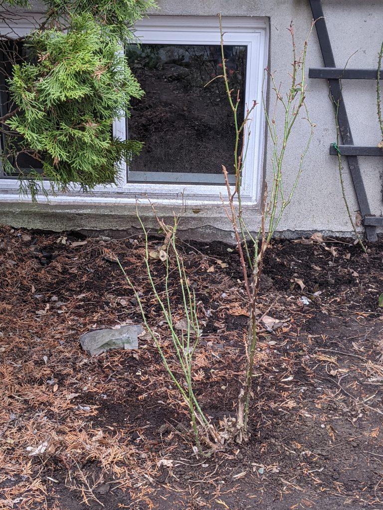 transplanting rose bush DIY front yard landscaping makeover Montreal lifestyle fashion beauty blog