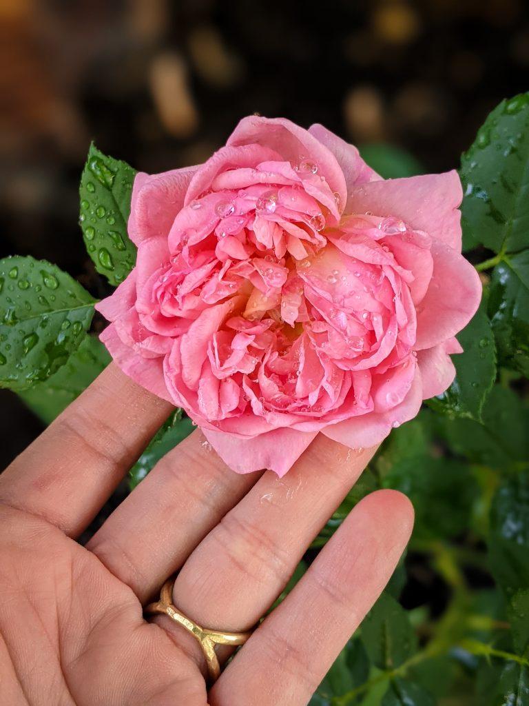 Boscobel Rose DIY front yard landscaping Montreal lifestyle fashion beauty blog