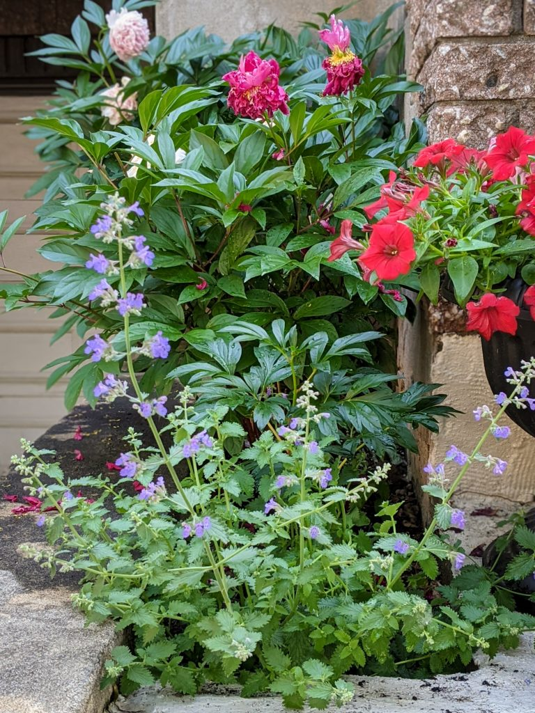 Dropmore Nepeta DIY front yard landscaping Montreal lifestyle fashion beauty blog