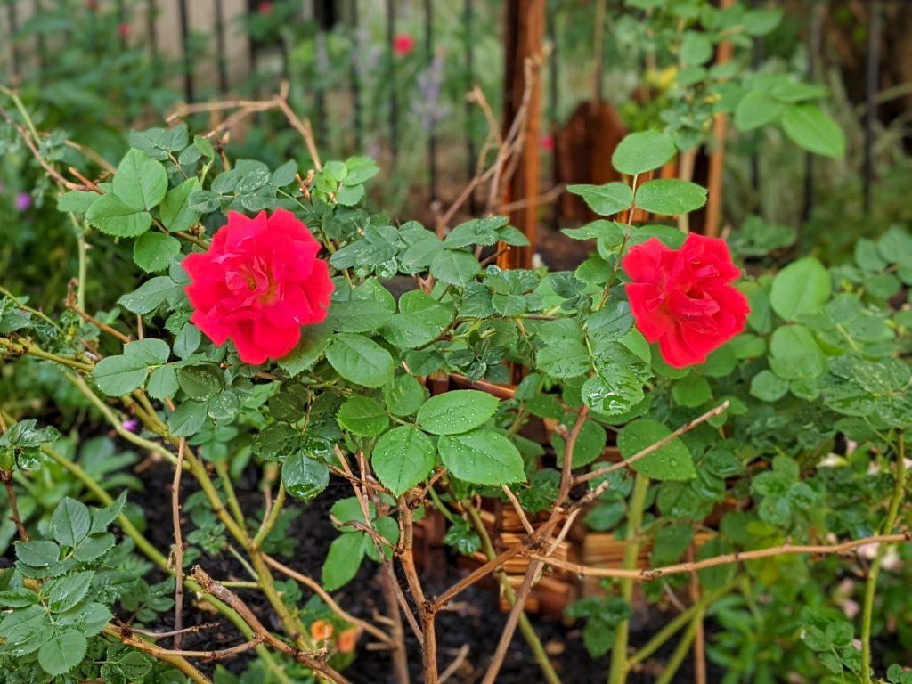 OSO Easy Double Red rose DIY front yard landscaping Montreal lifestyle fashion beauty blog