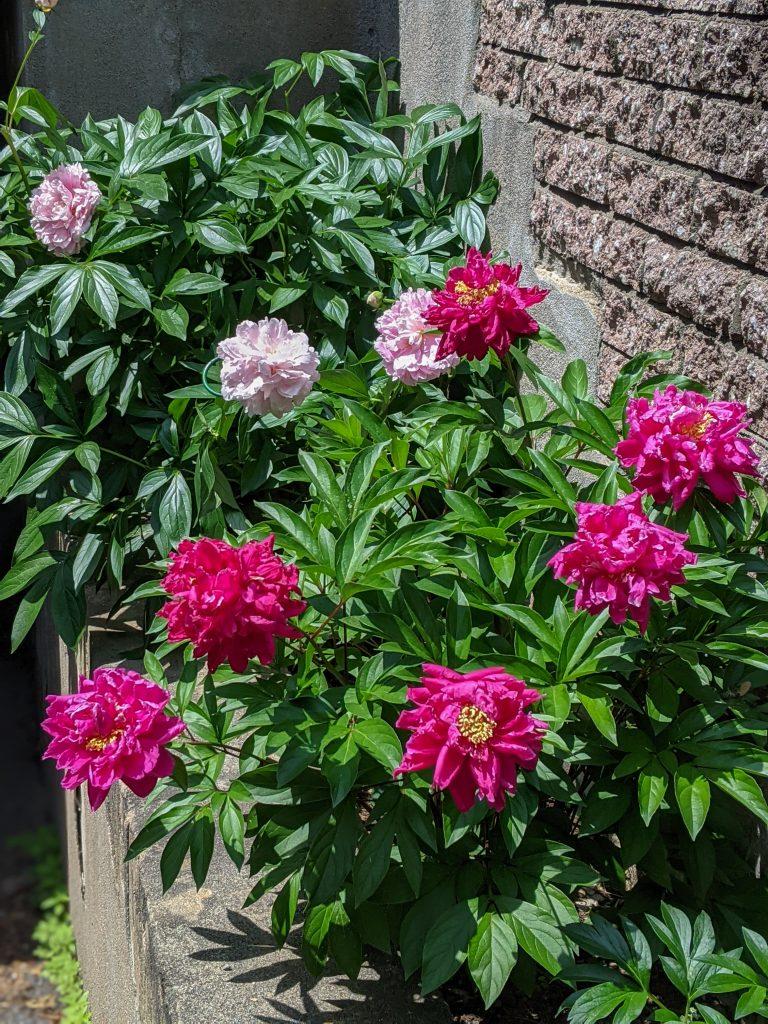 Sarah Bernhardt Karl Rosenfield peony DIY front yard landscaping Montreal lifestyle fashion beauty blog