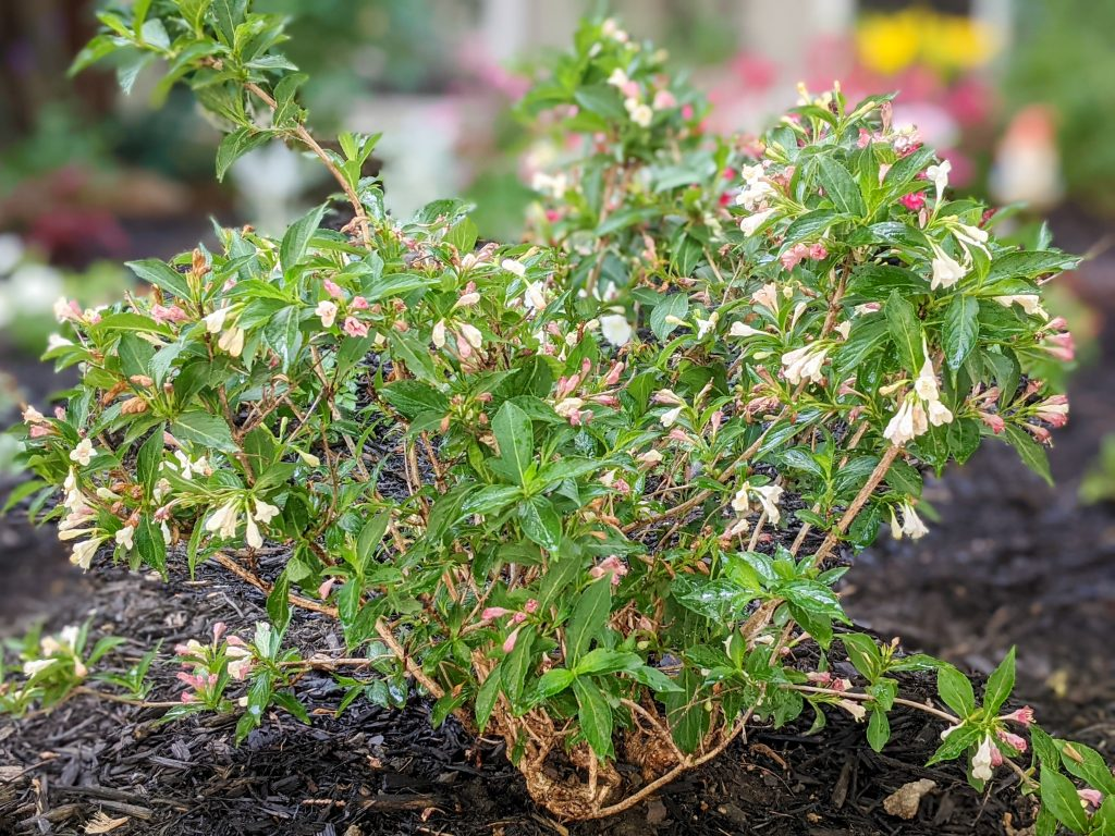 Sonic Bloom Pearl Weigela DIY front yard landscaping Montreal lifestyle fashion beauty blog