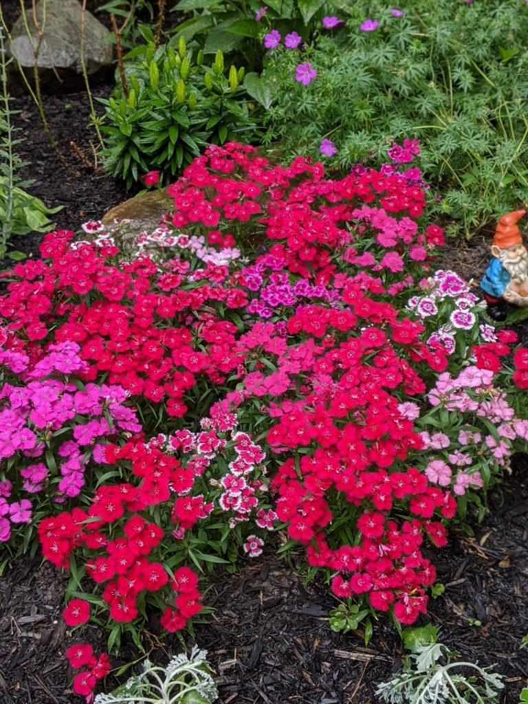 dianthus DIY front yard landscaping Montreal lifestyle fashion beauty blog