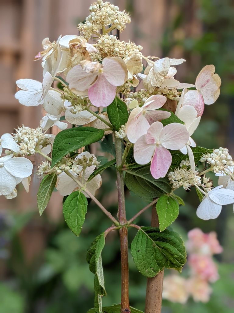 main bloom and side blooms DIY how to turn a hydrangea bush into a tree Montreal lifestyle fashion beauty blog