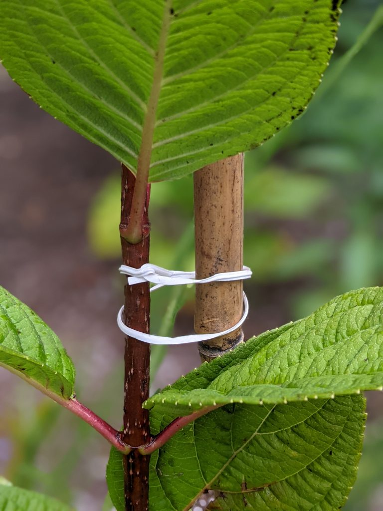 tie branch to tree stake DIY how to turn a hydrangea bush into a tree Montreal lifestyle fashion beauty blog